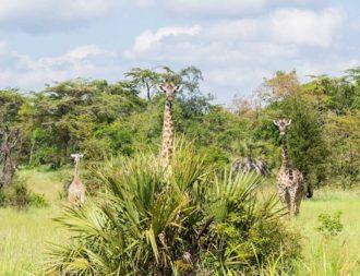 Giraffen hinter einem Busch im Saadani Nationalpark auf Tansania Safaris