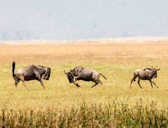 Zwei Gnus messen ihre Kräfte im Ngorongoro Krater während einer Tansania Safari-Reise