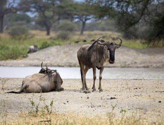 Zwei Gnus am Tarangire River im Tarangire Nationalpark während einer Tansania Safari Rundreise
