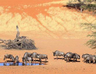 Gnus in der Kalahari während der