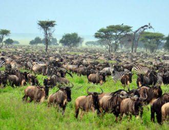 Great Migration in der Serengeti