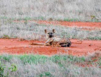 Hyäne liegt auf der roten Erde im Tsavo Ost Nationalpark während einer Kenia Safari Reise