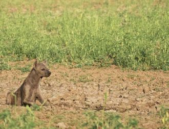 Babay Hyänen bei Tansania Safari Reisen entdecken