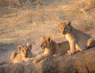 Junge Löwen in der Steppe des Ruaha Nationalparks bei einer Tansania Safari Reise
