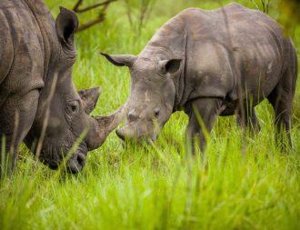 Junges Breitmaulnashorn bei einer Uganda Safari Rundreise im Ziwa Rhino Sanctuary