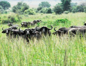 Büffelherde im Kidepo Valley Nationalpark auf einer Uganda Safari Reise gesichtet