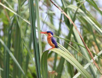 Kingfisher bei einer Uganda Safari Reise im Queen Elizabeth Nationalpark entdeckt