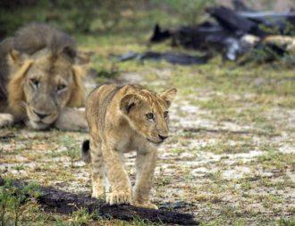 Auf einer Tansania Safari Reise einen kleiner Löwe in Selous gesichtet