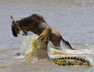 Ein Krokodil schnappt ein Gnu in der Masai Mara bei einer Kenia Safari Reise