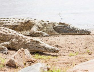 Krokodile im Tsavo Ost Nationalpark bei einer Kenia Safari Reise