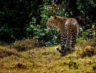 Leopard im Aberdare Nationalpark während einer Kenia Safari Reise