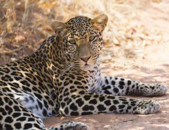 Leopard in der Steppe des Ruaha Nationalparks bei Tansania Safari Reisen