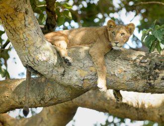 Löwe auf einem Baum im Queen Elizabeth Nationalpark auf Uganda Safari Rundreisen