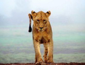 Junger Löwe im Tsavo West Nationalpark während eine Kenia Safari