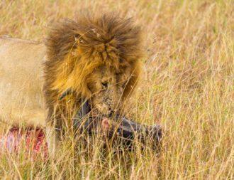 Löwe trägt Gnu in der Masai Mara während einer Kenia Safari Reise