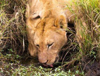 Auf einer Kenia Safari Reise einen trinkenden Löwen in der Masai Mara gesehen