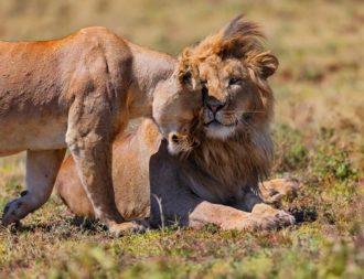 Tansania Safari Rundreisen mit Löwen im Ngorongoro Krater