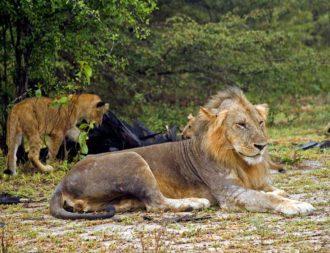 Auf einer Tansania Safari Rundreise eine Löwenfamilie im Selous Wildreservat entdeckt