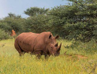 Nashorn im Waterberg Plateau Park auf einer Namibia Safari Reise