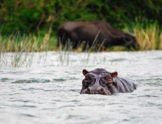 Nilpferd im Kazinga Channel während einer Uganda Safari Reise
