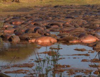 Nilpferde im Fluss im Katavi Nationalpark während Tansania Safari Rundreisen
