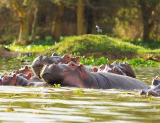 Viele Nilpferde im Lake Naivasha