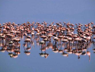 Pelikane auf einer Tansania Safari Reise im Lake Natron