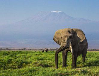 Grossen Elefant während einer Kenia Safari Reise im Amboseli Nationalpark entdeckt