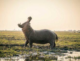 Riesiges Nilpferd im Chobe Nationalpark während einer Namibia Safari Reise