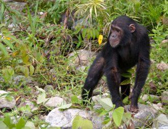 Während Tansania Safari Reisen Schimpansen im Mahale Mountains Nationalpark gesehen