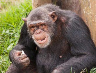 Schimpanse isst im Ngamba Island Chimpanzee Sanctuary während einer Uganda Safari Reise