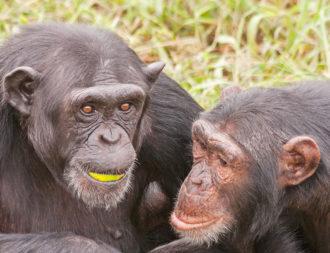 Zwei Schimpansen im Ngamba Island Schimpansen Sanctuary während einer Uganda Safari Reisen