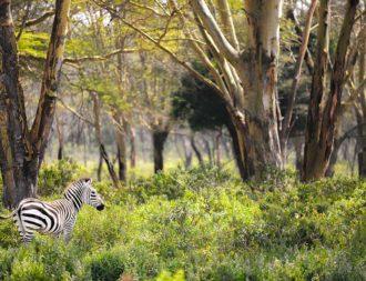 Ein Zebra bei einer Kenia Safari Reise im Hells Gate Nationalpark entdeckt