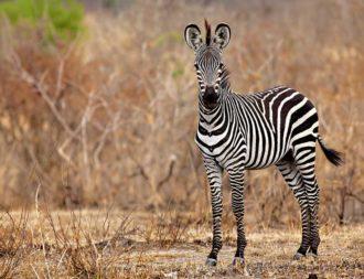 Zebras während der Trockenzeit auf einer Tansania Safari-Tour im Mikumi Nationalpark