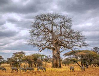 Zebraherde während der Trockenzeit im Tarangire Nationalpark auf Tansania Safaris